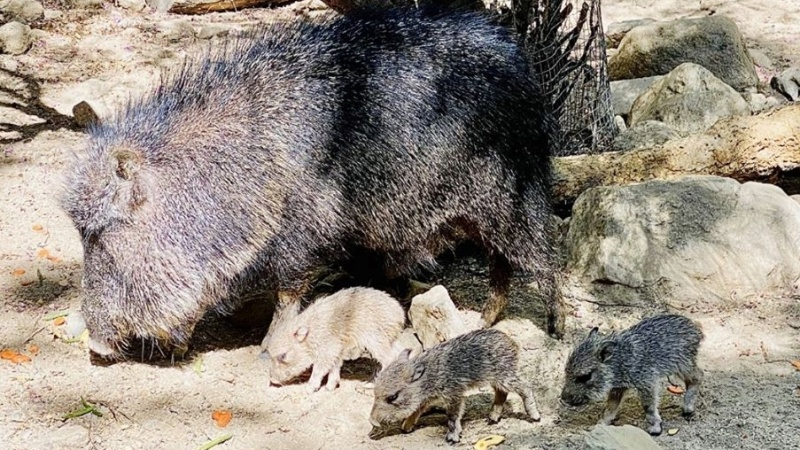 Pocket-Sized Peccaries Make Their Desert Debut