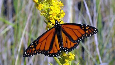 monarchflowerpretty