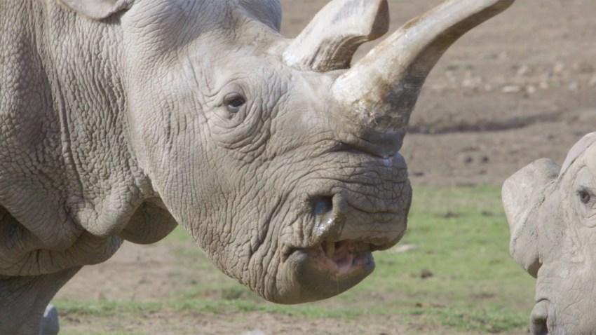 northern-white-rhino-san-diego-zoo