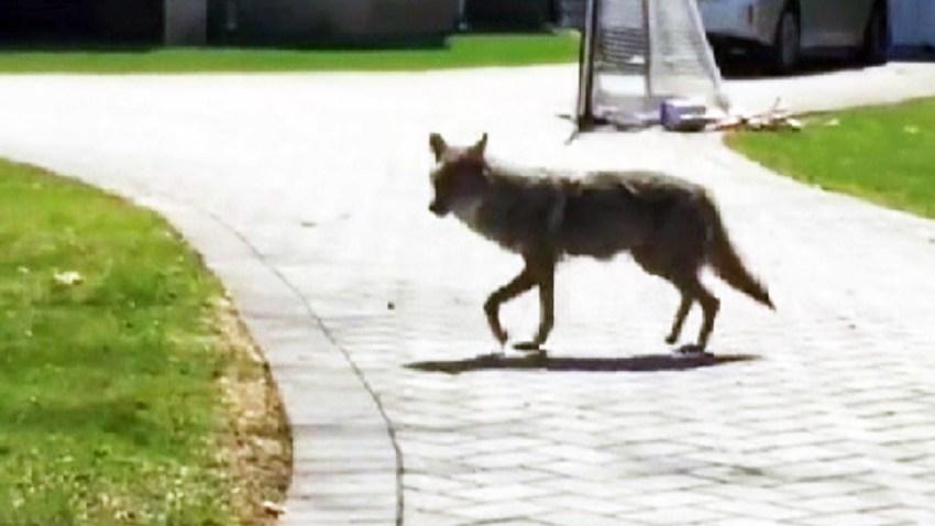 norwood coyotes