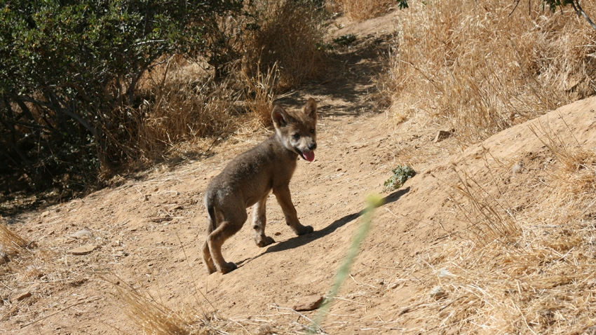 Mexican Gray Wolf Puppy