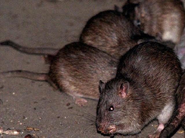 rats generic