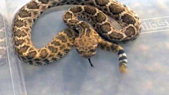 rattlesnake111411_722x406_2167575466.jpg