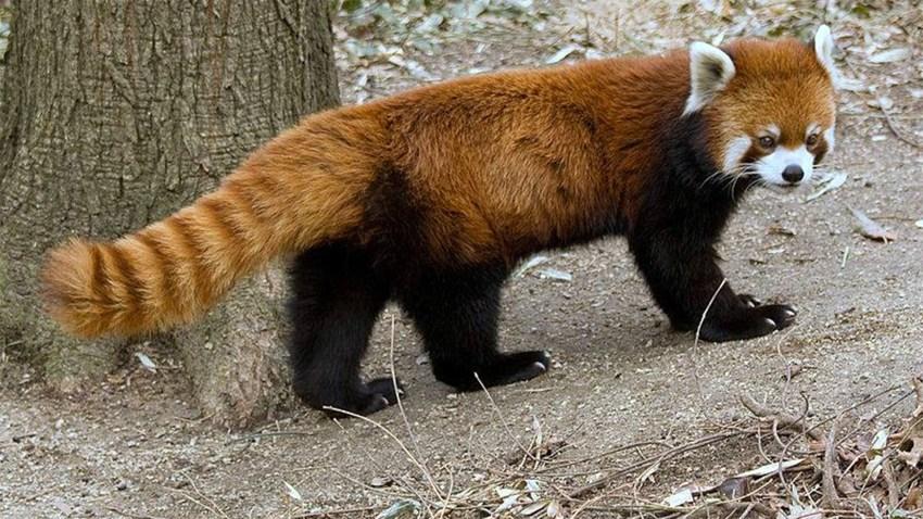 red-panda-Masala