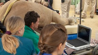 Several researchers and veterinarians take part in the retrieval of a female rhinoceros' eggs at the San Diego Zoo Safari Park.