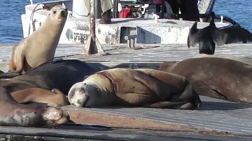 sea lion neck injury rescued