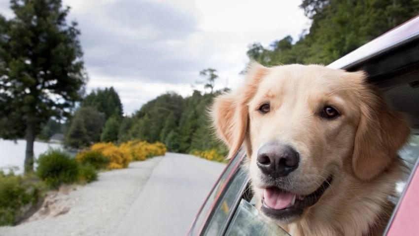 happy dog in a car