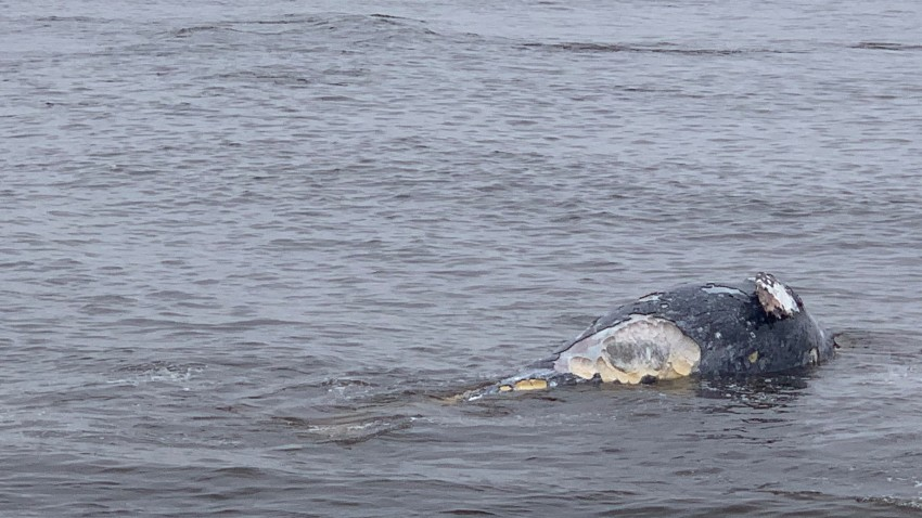 A dead whale that washed up in shallow waters near Bird Rock.