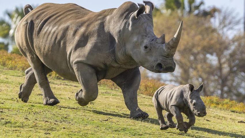southern white rhino calf san diego zoo safari park