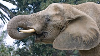 Tembo the Elephant at the San Diego Zoo