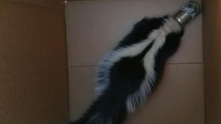 Skunk in Imperial Beach got its head stuck in a tin can