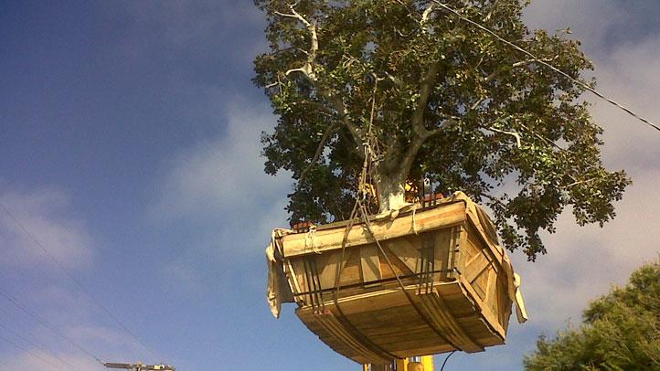 tree-del-mar-o323.JPG