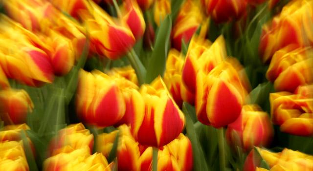 tulips-getty-640