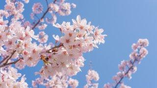 """Sakura"" Cherry Blossoms at the riverside"