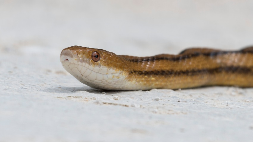 This photo was taken at the Lake Apopka Wildlife Drive in central Florida. It is an 11-mile drive throughout a wildlife conservation area. This photo shows an Eastern rat snake in the process of crossing a dirt road.