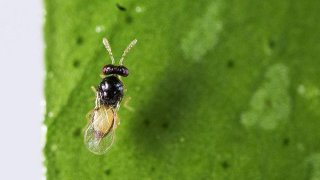 The wasp, called Tamarixia radiata, are being released to fight off another tiny disease-carrying bug that could devastate citrus crops