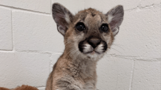 A young mountain lion cub was found on the brink of death by firefighters in Idyllwild and has since been nursed back to health at the Ramona Wildlife Center.