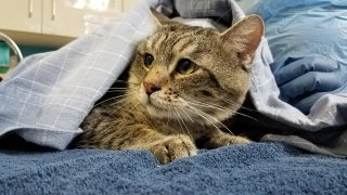One of the 31 cats who were found abandoned receives care from the San Diego Humane Society staff.
