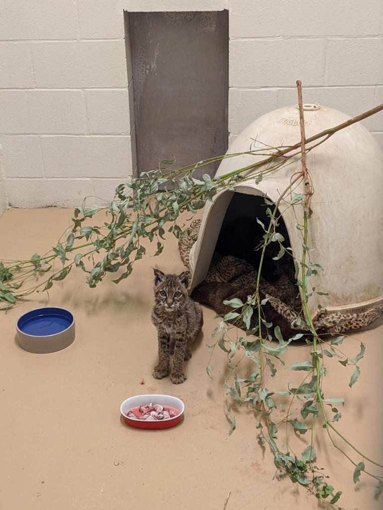 The young bobcat has been given treatment, food and shelter at the San Diego Humane Society's Ramona Wildlife Center as it continues to heal.