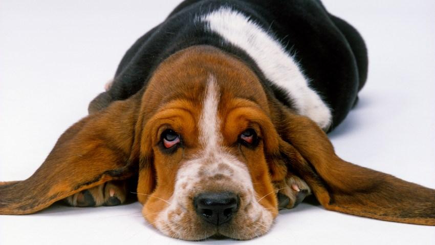 Basset hound,