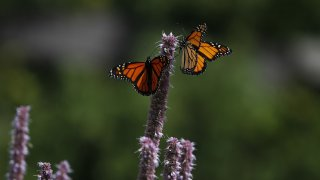 Monarch butterflies rest on giant hyssop plants in Lurie Garden at Millennium Park in Chicago on Aug. 30, 2019.