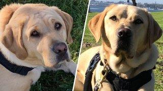 Left: Genoa the Labrador. Right: Bodie the Labrador.