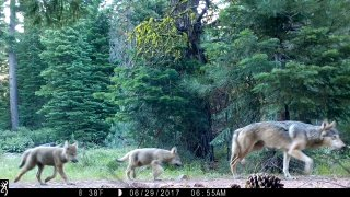 A female gray wolf and two of the three pups