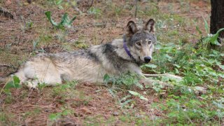 Gray wolf known as OR-93.