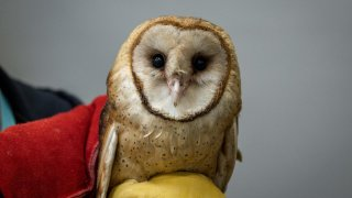 An undated image of the barn owl that was treated and released back into the wild on Wednesday, March 24, 2021.