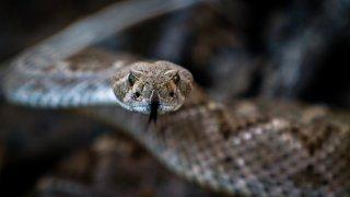 Close up of a Diamondback Rattlesnake