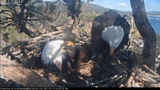 Eagles Jackie and Shadow in their Big Bear nest.