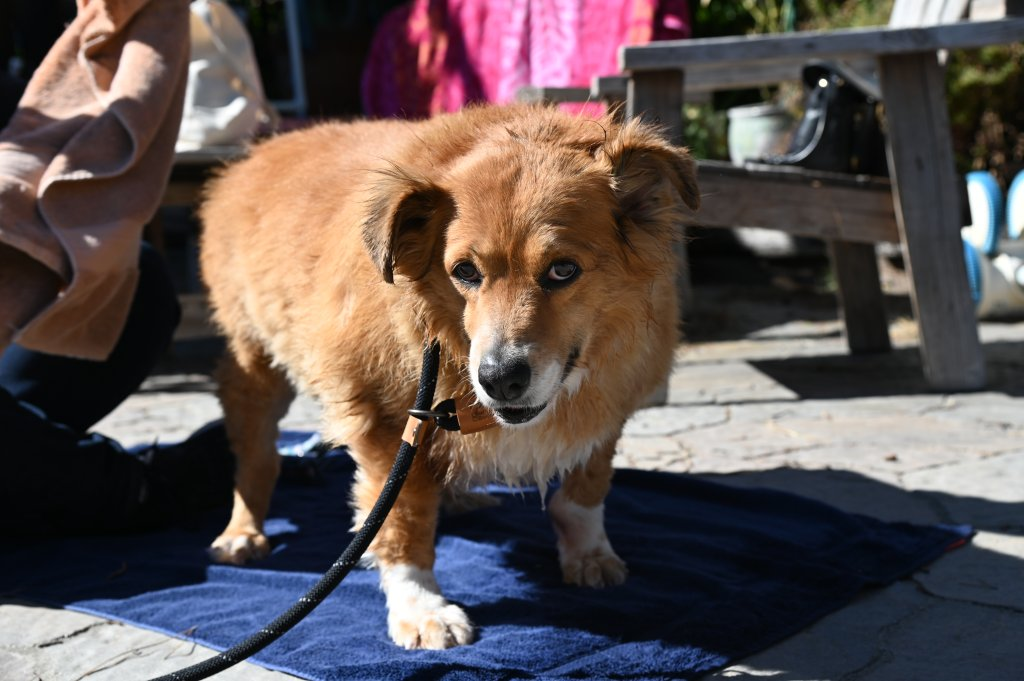 The look of love from Nalani, the 5-year-old collie/corgi mix.