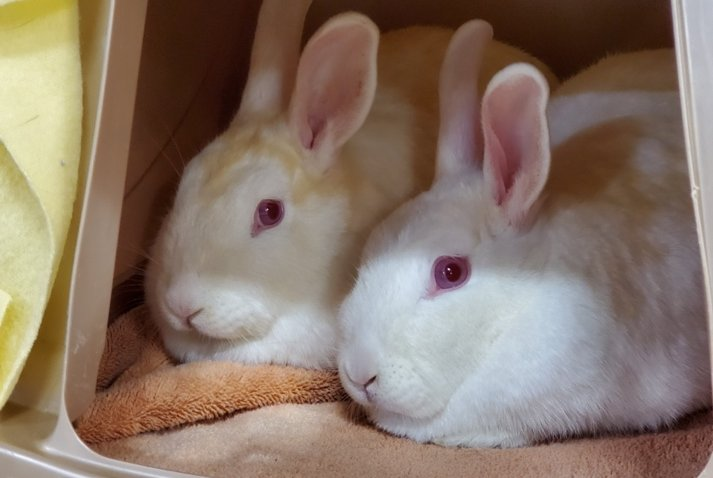 A pair of rabbits rescued by the San Diego Humane Society that are now available for adoption.