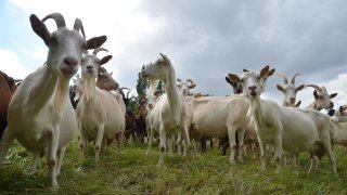 Stock image of some goats.
