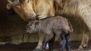 Golden Takin Born at the San Diego Zoo