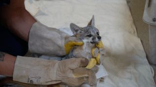 Gray Fox rescued by the San Diego Humane Society