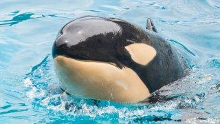 Amaya the Orca at Sea World