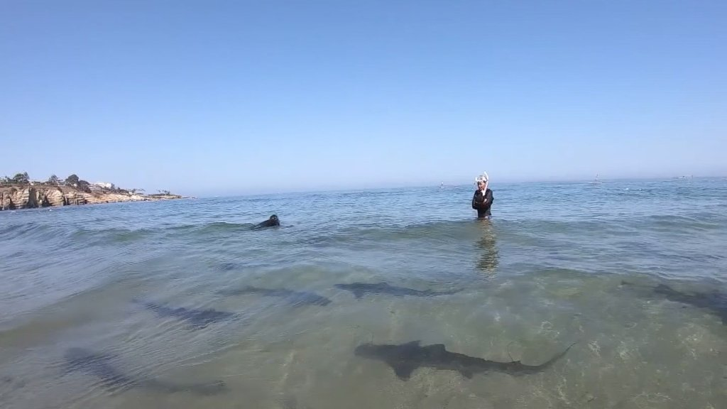 Leopard sharks are fairly friendly and harmless to humans. Here, they swim near one in La Jolla.