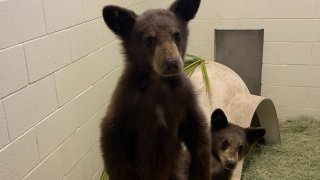 A pair of pair orphaned bear cubs were rescued by the California Department of Fish and Wildlife ) in the Three Rivers area near the Sequoia National Park on Aug. 18 and have since been taken care of at San Diego Humane Society's Ramona Wildlife Center.