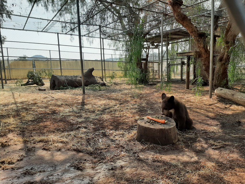 The San Diego Humane Society's Ramona Wildlife Center created an enclosure that mimics the cubs' natural environment.