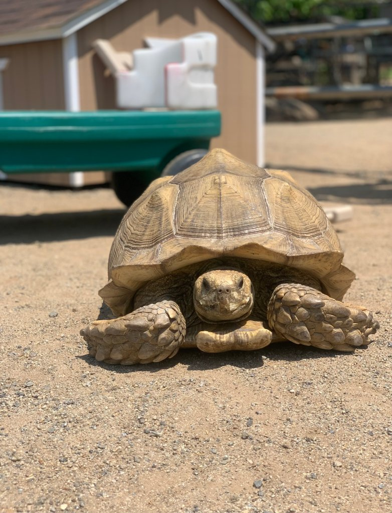 New Tortoise at Lions Tigers & Bears Animal Rescue