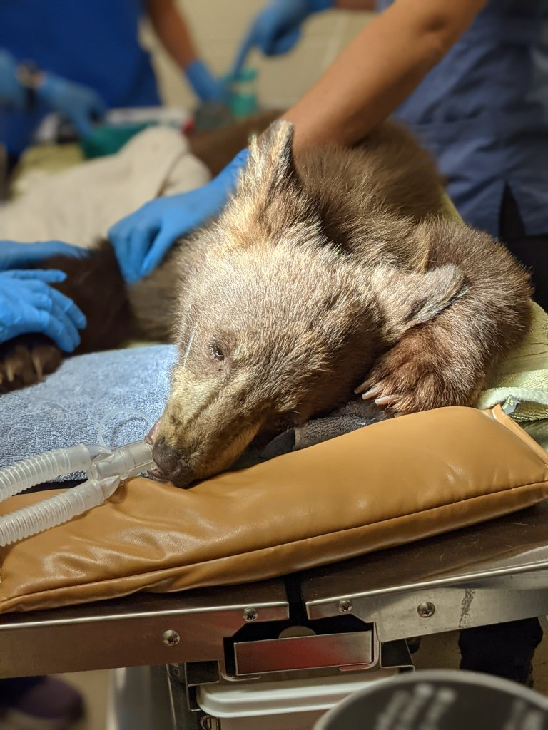 The cubs were medically evaluated upon their arrival at the Ramona Wildlife Center.