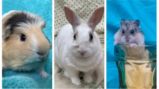 A guinea pig, rabbit and hamster available for adoption at the San Diego Humane Society.