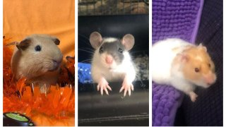 A guinea pig, mouse and hamster available for adoption at Wee Companions.