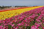 The Carlsbad Flower Fields Are in Bloom