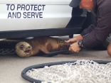 Sea Lion Looks for Refuge Under a Police Car