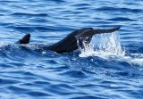 Pilot Whales Sighted Off Orange County