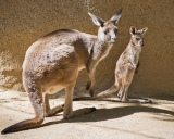 'Name Our Roo': LA Zoo Holds Kangaroo Naming Contest