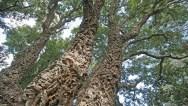 Rachel_Cobb_SDBG_corktrees