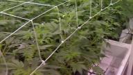 California Mulls 'Sanctuary' Status for Marijuana Businesses